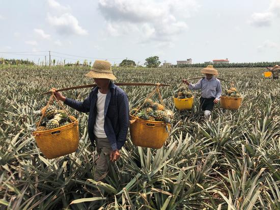 在農行信貸支持下,許多菠蘿種植戶迎來大豐收