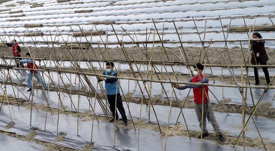 南宁供电局派驻上林云桃村第一书记带领青年志愿者帮助瓜农扎棚种瓜。(马华斌 )