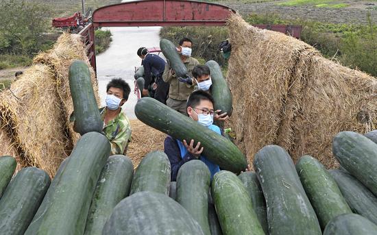 南宁供电局派驻上林云桃村第一书记在帮助群众装车售瓜。马华斌 摄