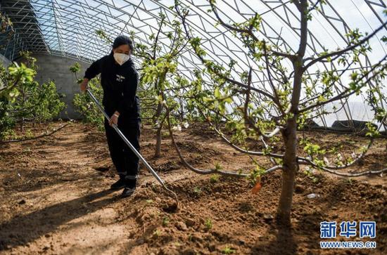 内蒙古苏尼特右旗洪浩尔敖包村的贫困户王翠莲在大棚里给樱桃树锄草(2020年3月12日摄)。新华社记者 连振 摄