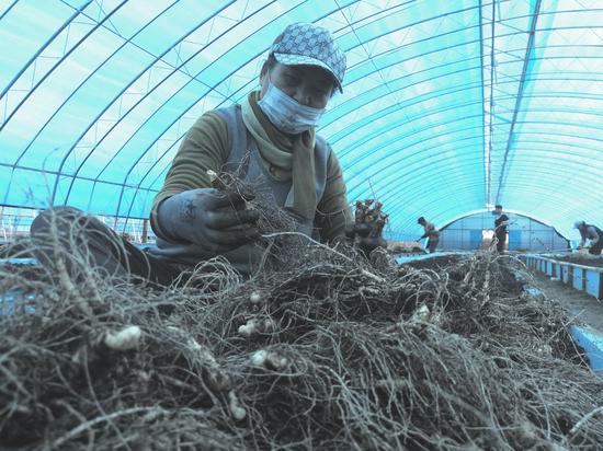 延边泥炭人参产业园项目人参进入收获期