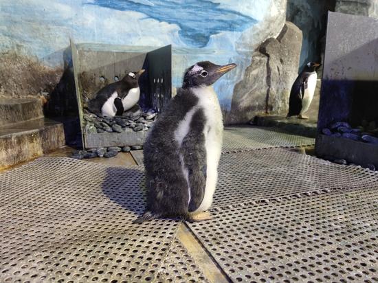 """本次繁殖季第一只企鹅""""海海"""""""