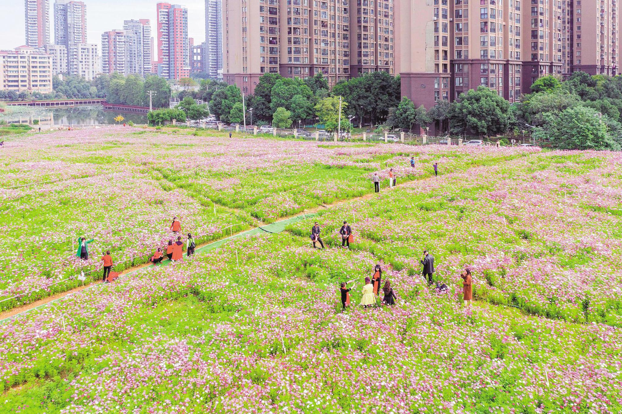 武汉洪山波斯菊花的海洋正在盛开。