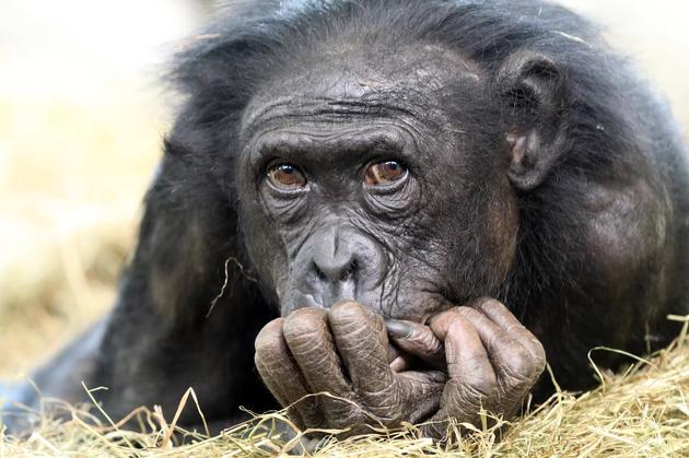 依据最新科学评估,黑猩猩生存的时间比现代人类更长,现代人类已繁衍生息30万年,而黑猩猩已有100万年的历史。