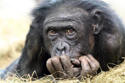 为什么黑猩猩没有进化成为人类呢?