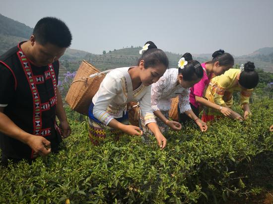 茶香氤氲开采节